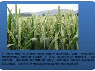 У очень многих злаков, например у пшеницы, ржи, тимофеевки, междоузлия стебл