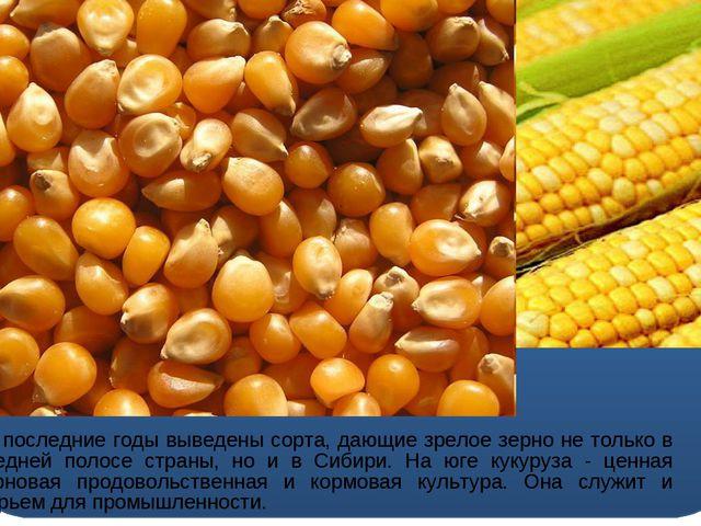 За последние годы выведены сорта, дающие зрелое зерно не только в средней по...