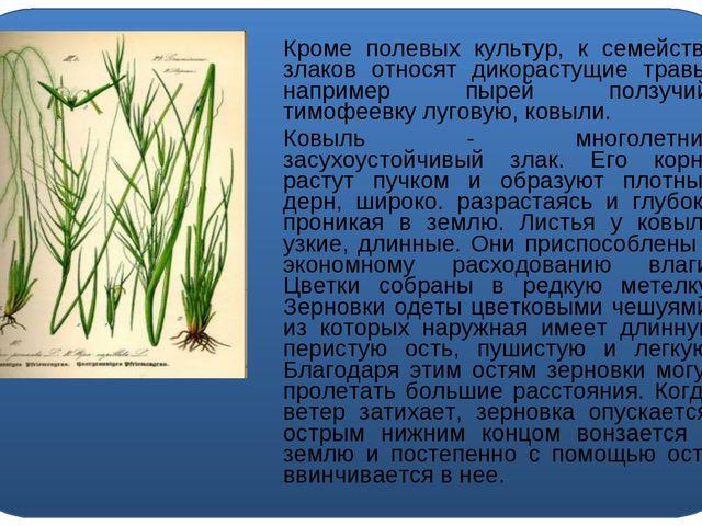 Кроме полевых культур, к семейству злаков относят дикорастущие травы, наприм...