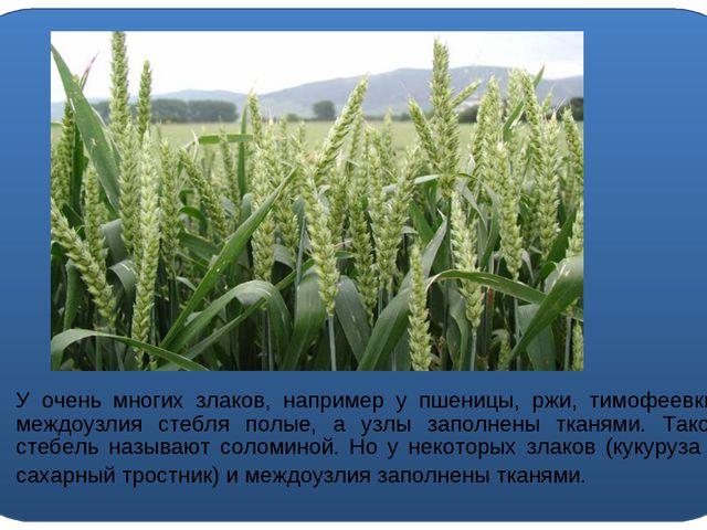 У очень многих злаков, например у пшеницы, ржи, тимофеевки, междоузлия стебл...