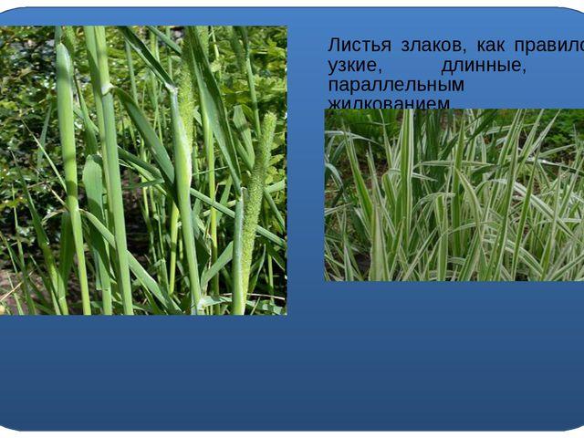 Листья злаков, как правило, узкие, длинные, с параллельным жилкованием.