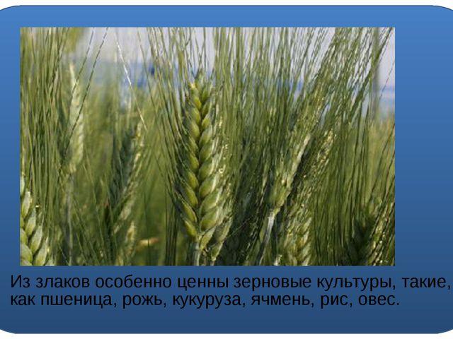 Из злаков особенно ценны зерновые культуры, такие, как пшеница, рожь, кукуру...