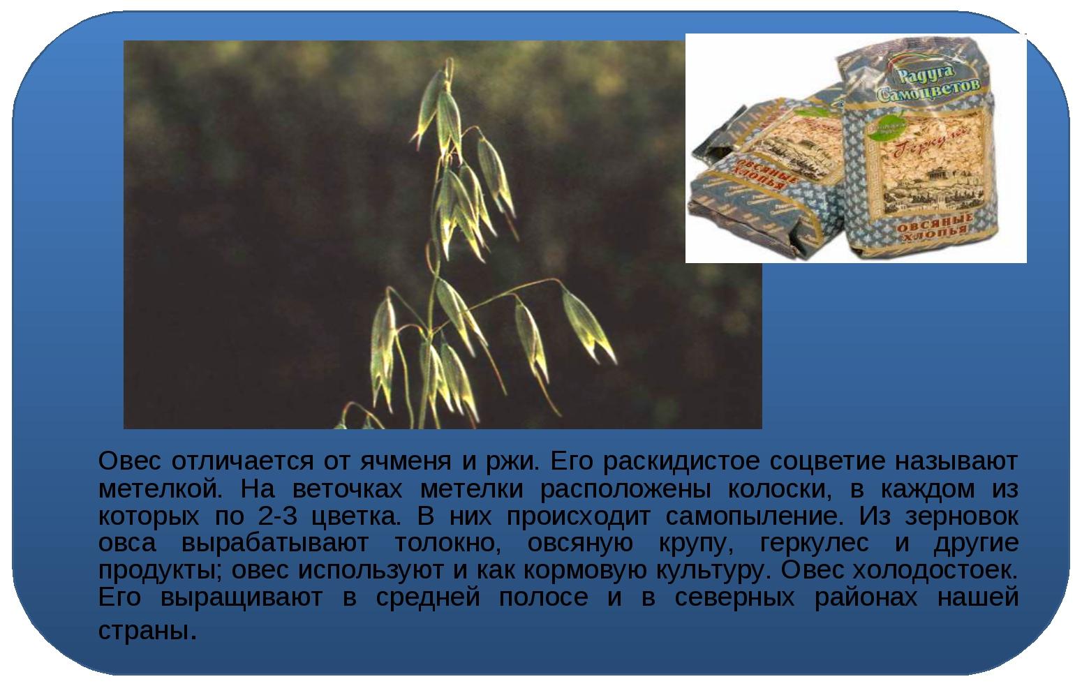 Овес отличается от ячменя и ржи. Его раскидистое соцветие называют метелкой....