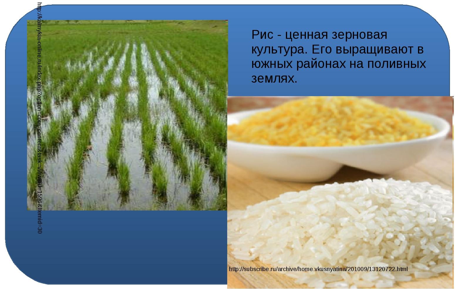 Рис - ценная зерновая культура. Его выращивают в южных районах на поливных з...