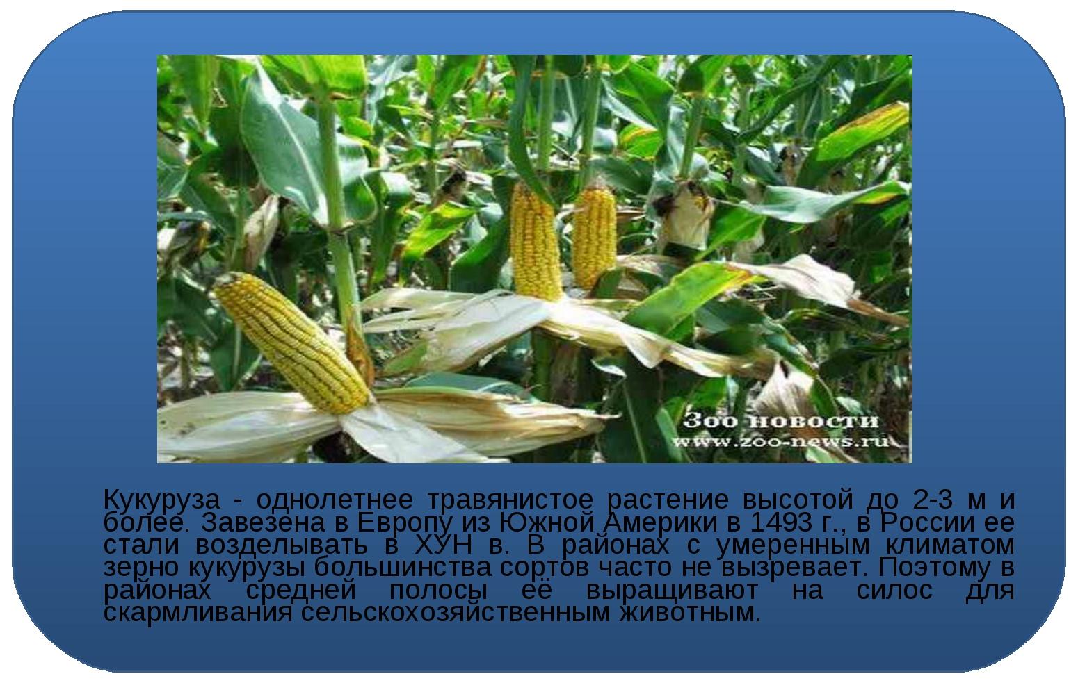 Кукуруза - однолетнее травянистое растение высотой до 2-3 м и более. Завезен...