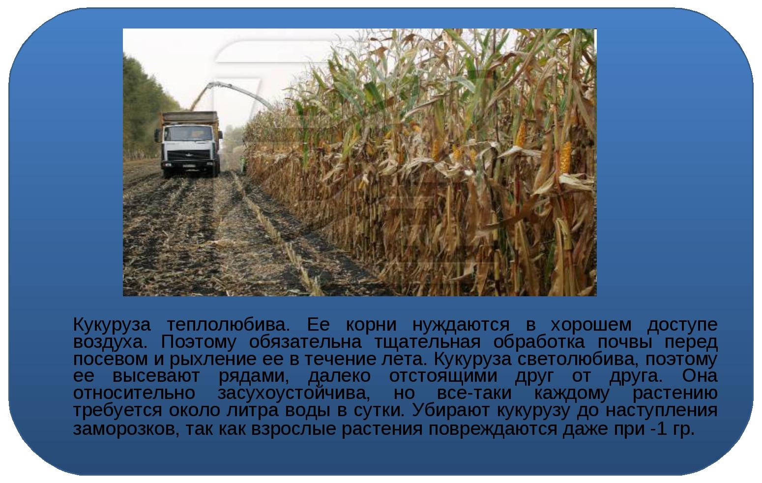 Кукуруза теплолюбива. Ее корни нуждаются в хорошем доступе воздуха. Поэтому...