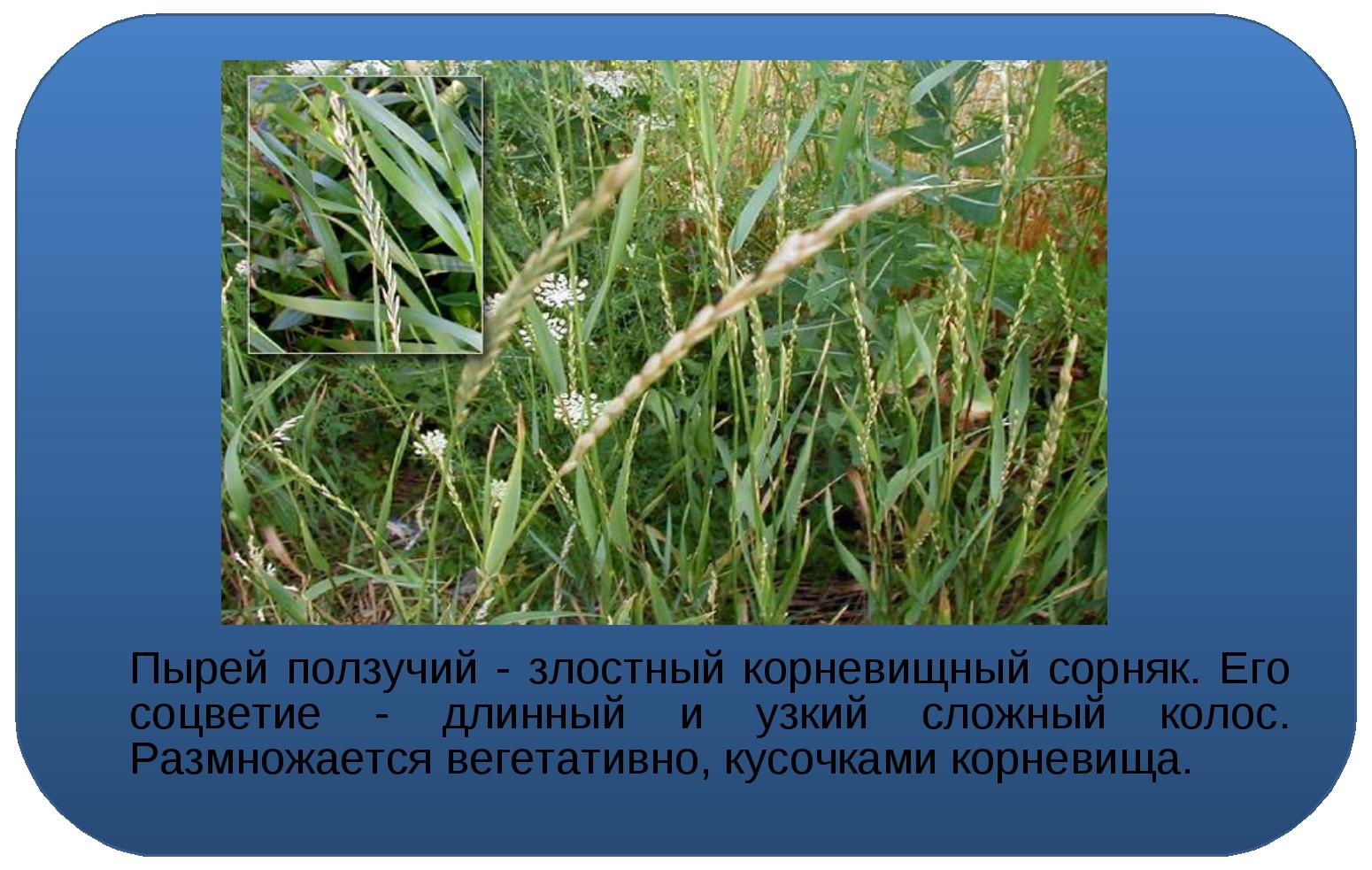 Пырей ползучий - злостный корневищный сорняк. Его соцветие - длинный и узкий...