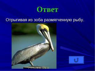 Ответ Отрыгивая из зоба размягченную рыбу.
