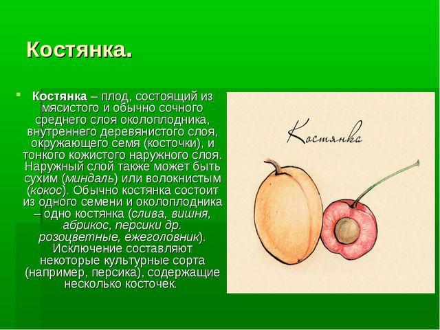 Костянка. Костянка– плод, состоящий из мясистого и обычно сочного среднего с...