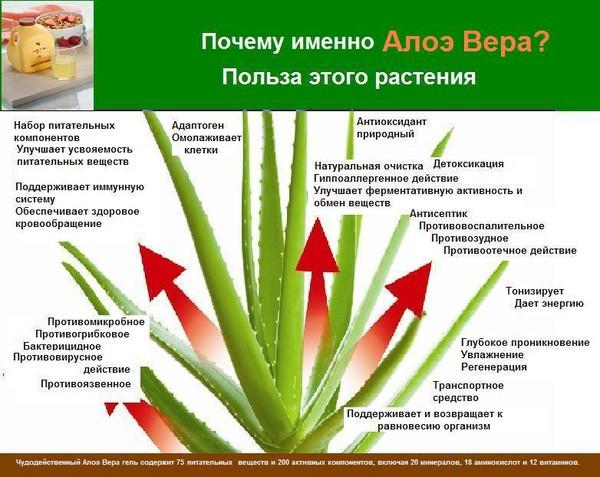 http://www.abcslim.ru/data/images/aloe1.JPG