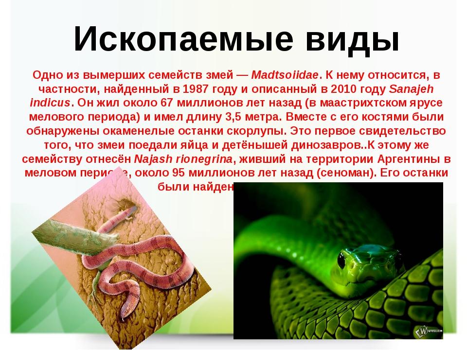 Ископаемые виды Одно из вымерших семейств змей—Madtsoiidae. К нему относитс...