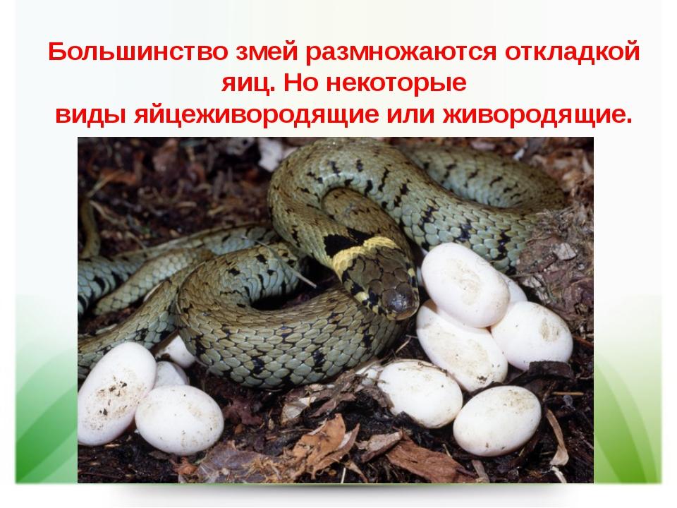 Большинство змей размножаютсяоткладкой яиц. Но некоторые видыяйцеживородящи...