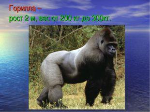 Горилла – рост 2 м, вес от 200 кг до 300кг.
