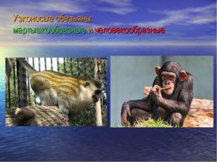 Узконосые обезьяны: мартышкообразные и человекообразные