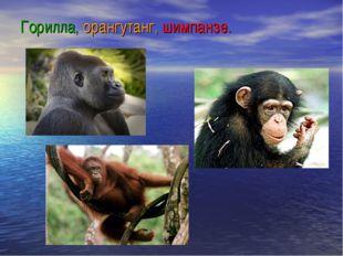 Горилла, орангутанг, шимпанзе.
