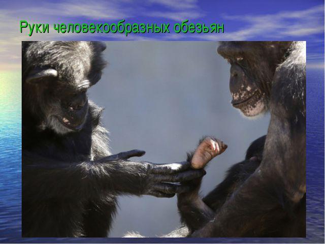 Руки человекообразных обезьян
