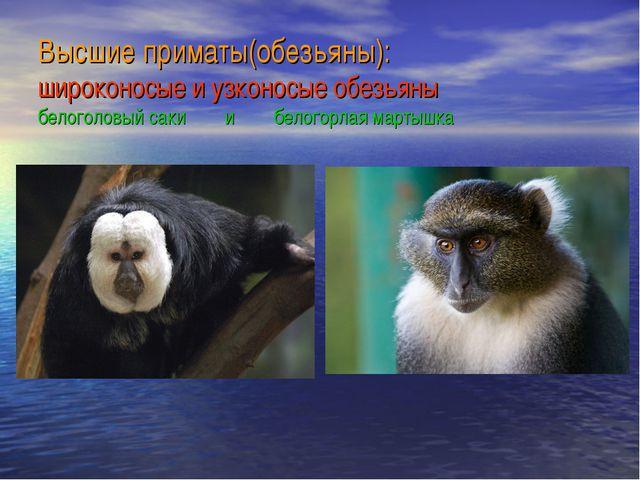 Высшие приматы(обезьяны): широконосые и узконосые обезьяны белоголовый саки и...