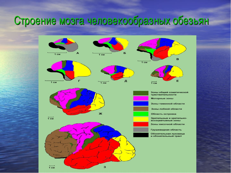 Строение мозга человекообразных обезьян
