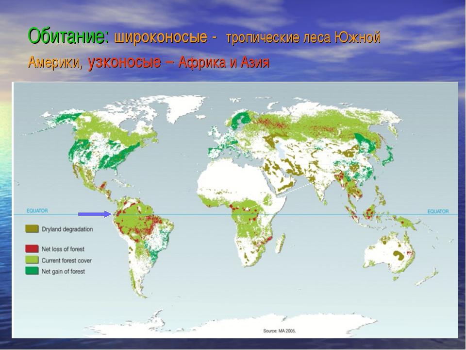 Обитание: широконосые - тропические леса Южной Америки, узконосые – Африка и...