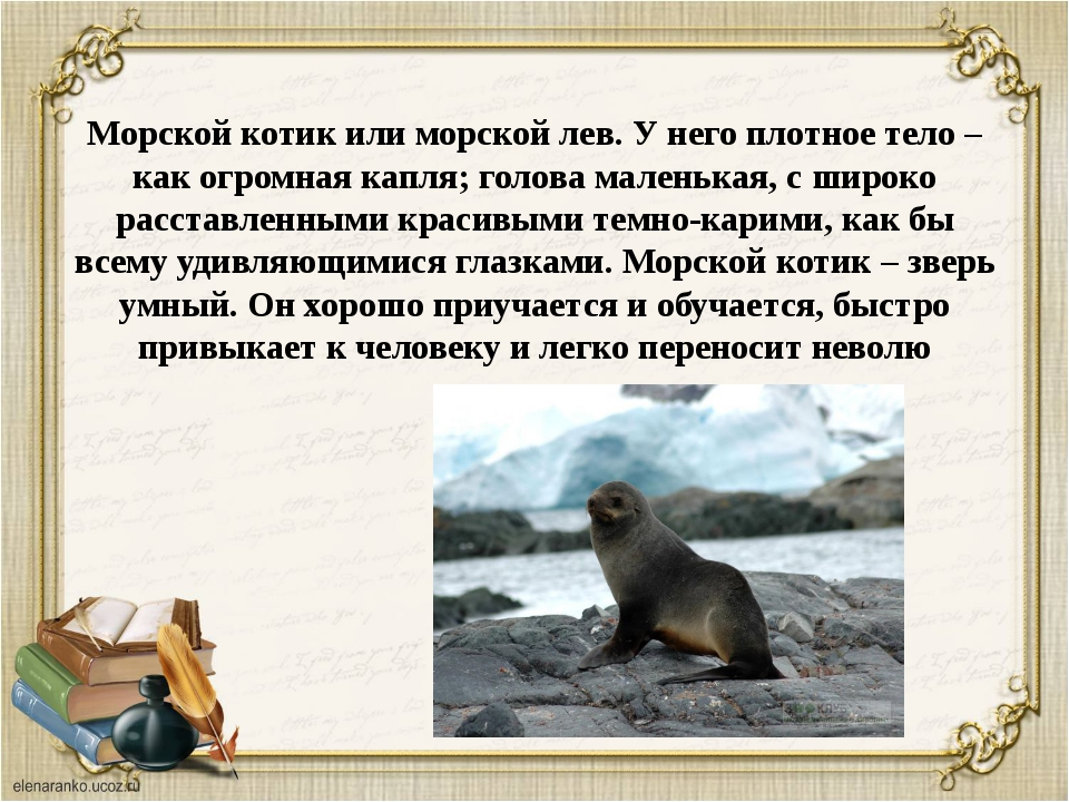 Морской котик или морской лев. У него плотное тело – как огромная капля; голо...