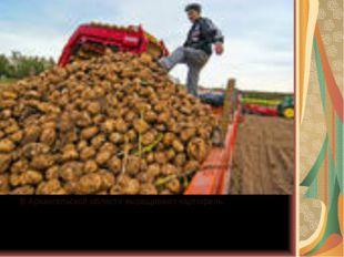 В Архангельской области выращивают картофель.
