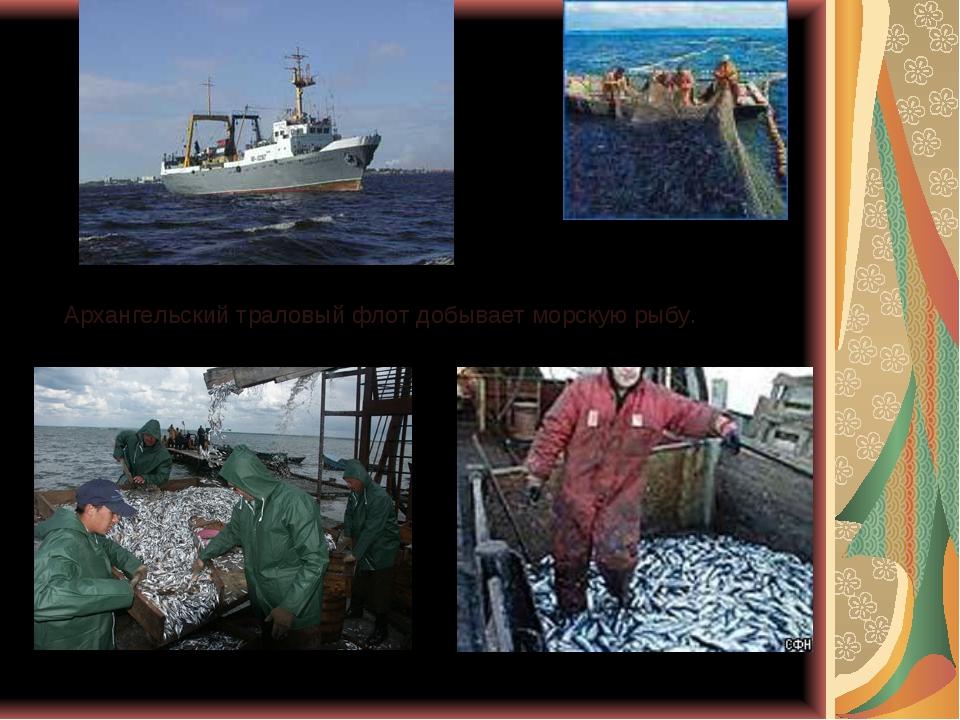 Архангельский траловый флот добывает морскую рыбу.