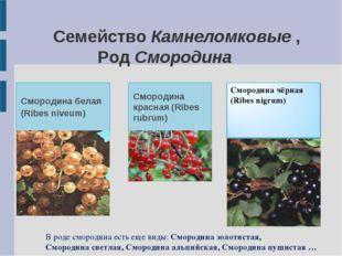 Семейство Камнеломковые , Род Смородина Смородина белая (Ribes niveum) Сморо
