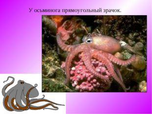 У осьминога прямоугольный зрачок.