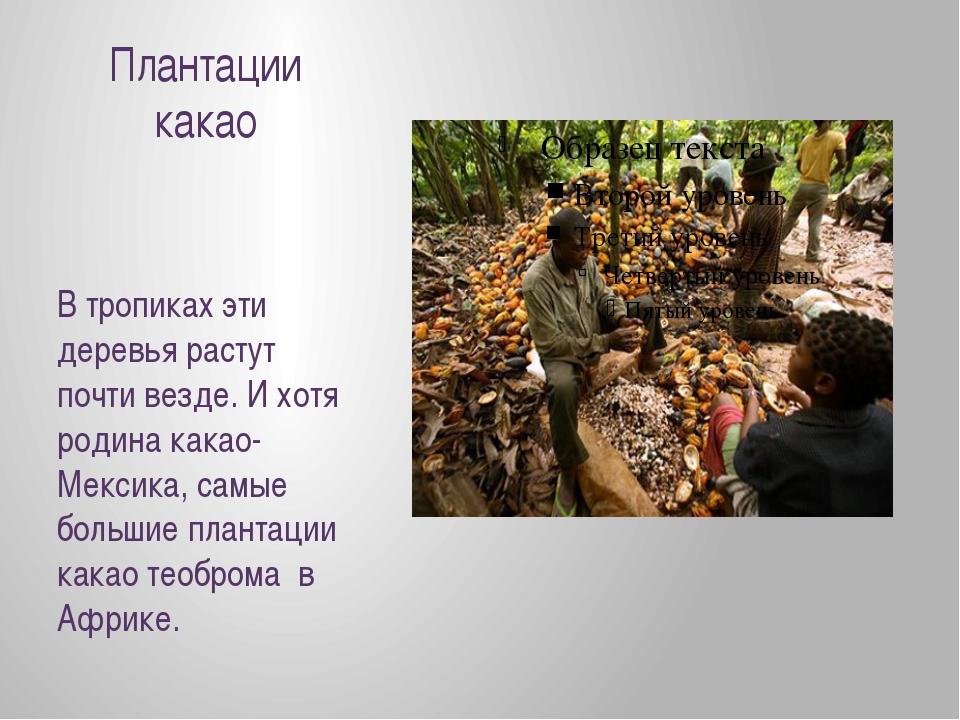 Плантации какао В тропиках эти деревья растут почти везде. И хотя родина кака...