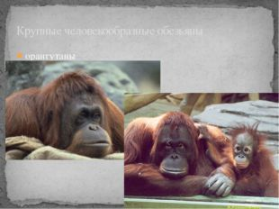орангутаны Крупные человекообразные обезьяны