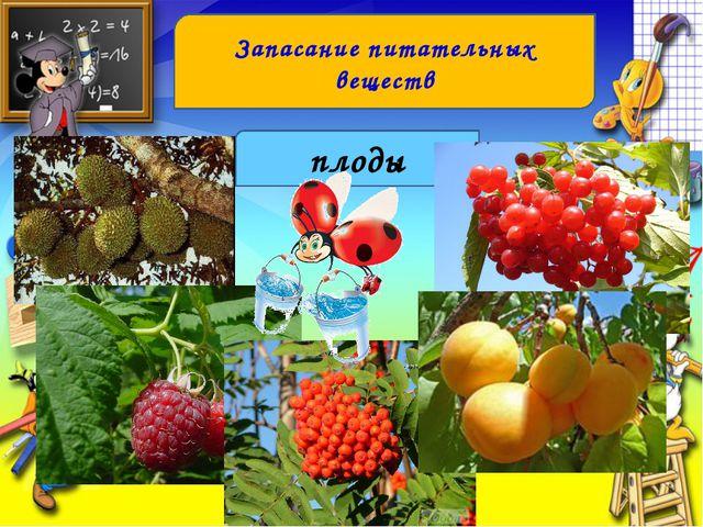 Запасание питательных веществ плоды