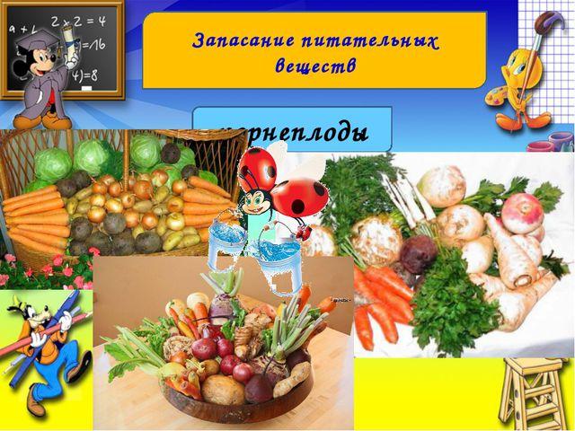 Запасание питательных веществ корнеплоды