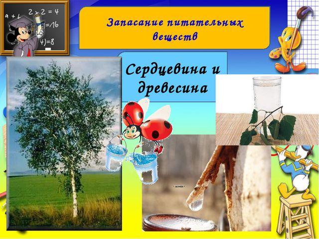 Запасание питательных веществ Сердцевина и древесина