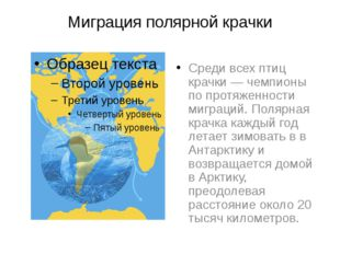 Миграция полярной крачки Среди всех птиц крачки — чемпионы по протяженности м