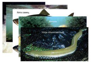 Лосось, идущий на нерест Горбуша: самец и самка во время нереста Кета самец К