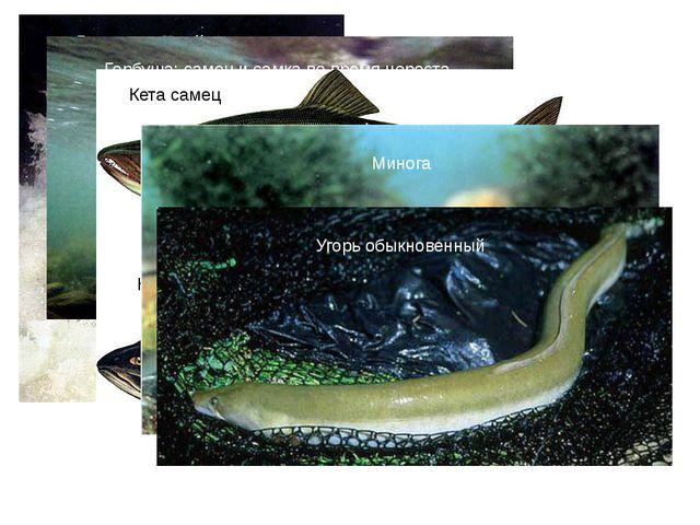 Лосось, идущий на нерест Горбуша: самец и самка во время нереста Кета самец К...