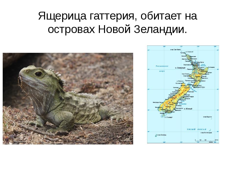 Ящерица гаттерия, обитает на островах Новой Зеландии.