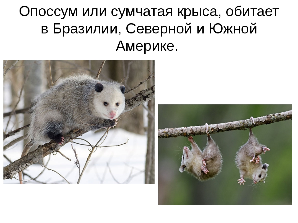 Опоссум или сумчатая крыса, обитает в Бразилии, Северной и Южной Америке.