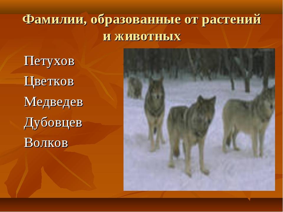 Фамилии, образованные от растений и животных Петухов Цветков Медведев Дубовце...