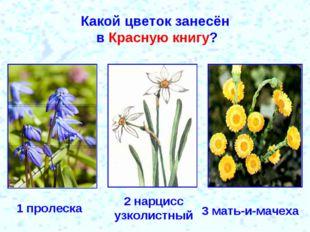 Какой цветок занесён в Красную книгу? 1 пролеска 2 нарцисс узколистный 3 мать