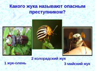 Какого жука называют опасным преступником? 1 жук-олень 2 колорадский жук 3 ма