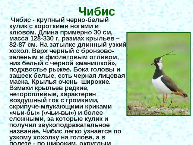 Чибис Чибис - крупный черно-белый кулик с короткими ногами и клювом. Длина пр...