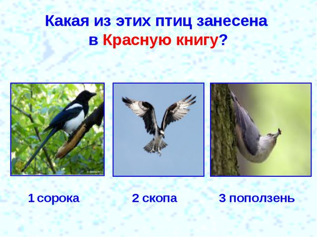 Какая из этих птиц занесена в Красную книгу? 1 сорока 2 скопа 3 поползень