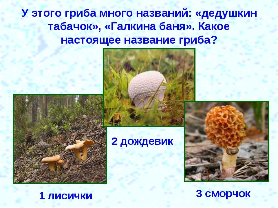 У этого гриба много названий: «дедушкин табачок», «Галкина баня». Какое насто...