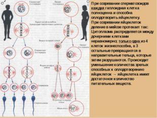 При созревании сперматозоидов каждая гаплоидная клетка полноценна и способна