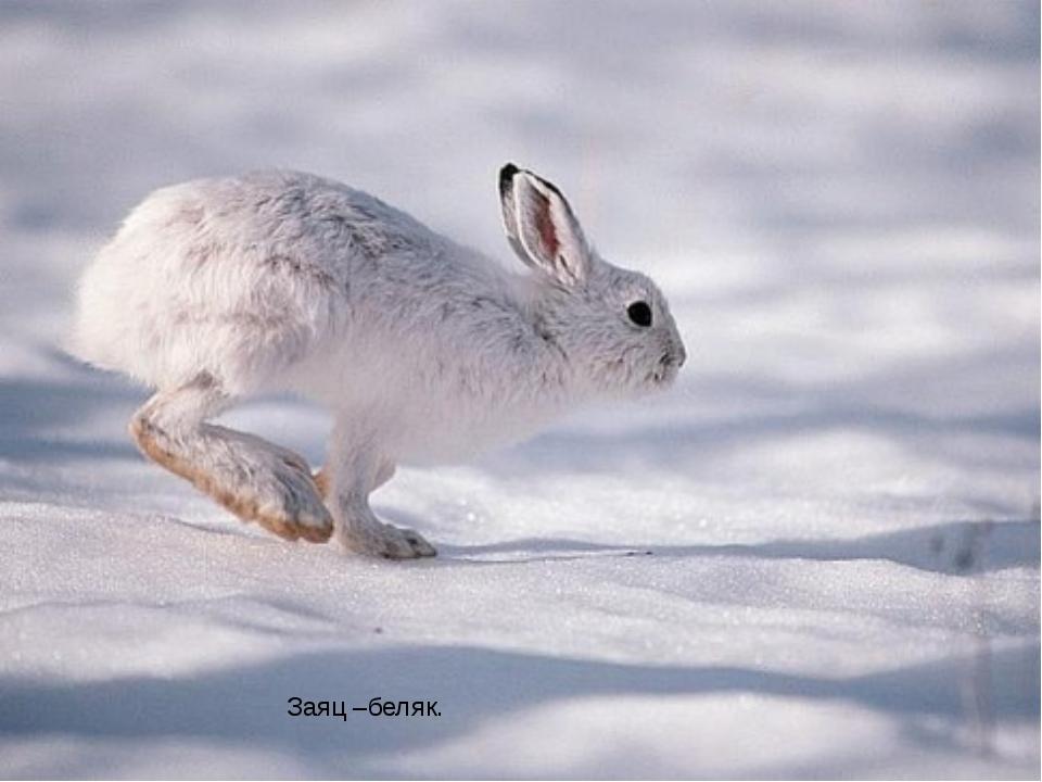 Заяц –беляк.