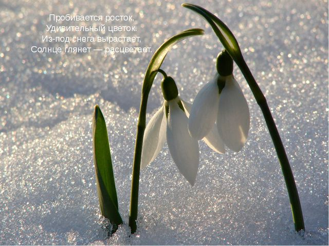 Пробивается росток, Удивительный цветок. Из-под снега вырастает, Солнце гляне...