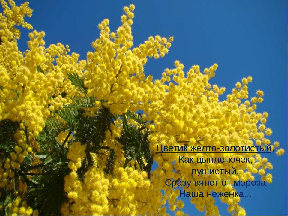 Цветик желто-золотистый, Как цыпленочек, пушистый. Сразу вянет от мороза Наша...
