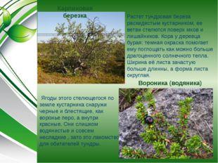 Карликовая березка Растет тундровая береза раскидистым кустарником, ее ветви
