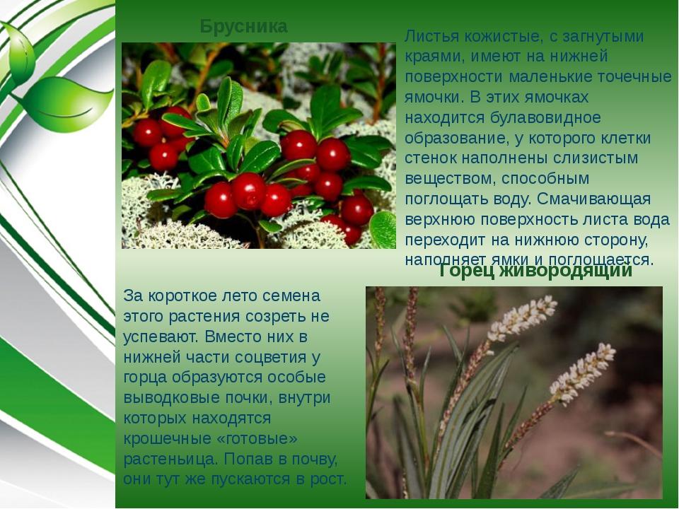 Горец живородящий Брусника За короткое лето семена этого растения созреть не...